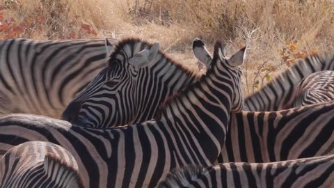 Burchell's zebra shaking head up and down with herd in wildlife reserve