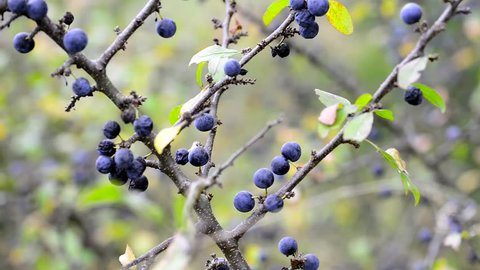 Sloe berries moving on the wind at cloudy  early autumn day.
