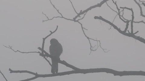 Kestrel sitting in the dead tree in fog, silhouette, summer, (falco tinnunculus)