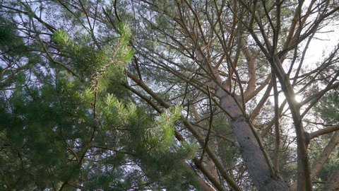 The Pinus Sylvestris or pine tree branches on the park with the ray of the sun coming out