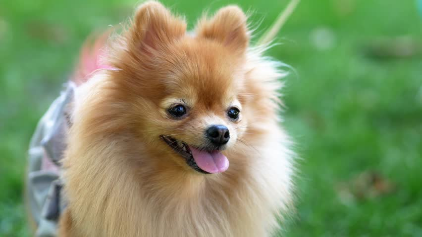 Little fluffy dog on the green grass. Puppy on a green background | Shutterstock HD Video #1016821957