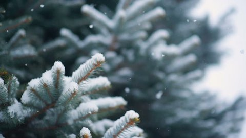 snow falls slowly against the background of a Christmas tree or pine. New Year, Christmas, Winter.