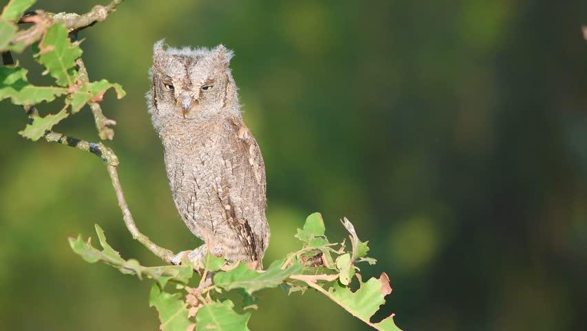 Young European scops owl (Otus scops) sitting on a branch