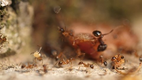 Close up of Ants carrying food together in slow motion