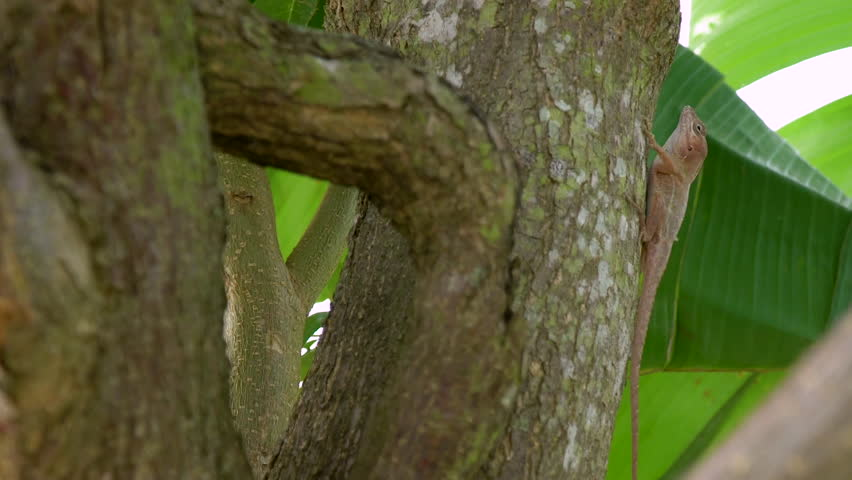 A trunk ground anole in the Dominican Republic, perches on the trunk of a plantain tree, finishing an insect.