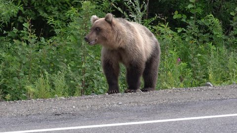Wild hungry Kamchatka brown bear on roadside of asphalt road, heavily breathing, sniffing and looking around. Kamchatka Peninsula, Russian Far East, Eurasia.
