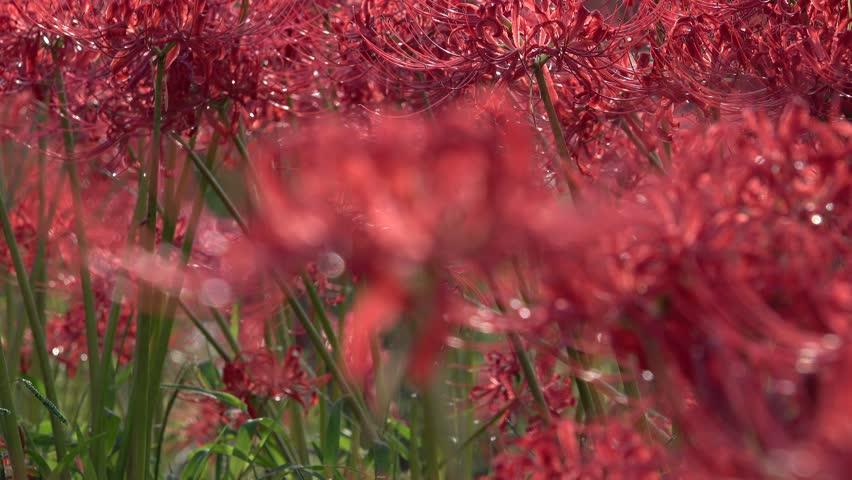 Japanese beautiful Lycoris radiata Lily spider