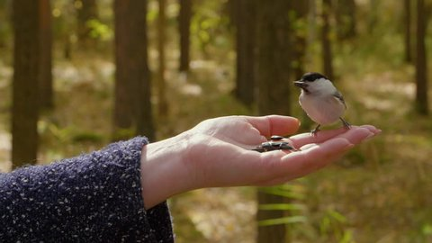 Hand of woman feeding titmouse bird to sunflower seeds in autumn forest