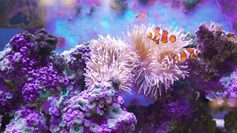 Orange and white striped fish with pink anemone and purple coral