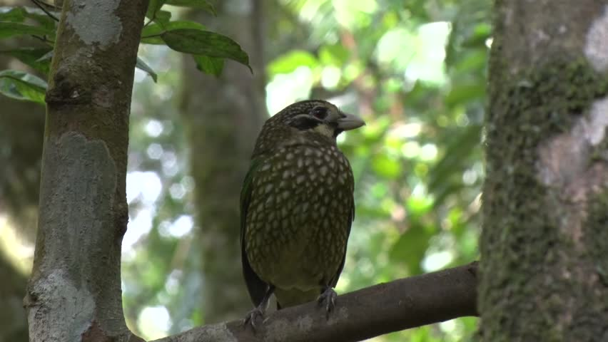 Spotted Catbird sits on branch looking around in the rainforest morning sun close up