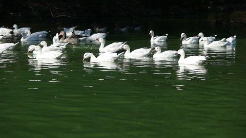 ducks swim in a row