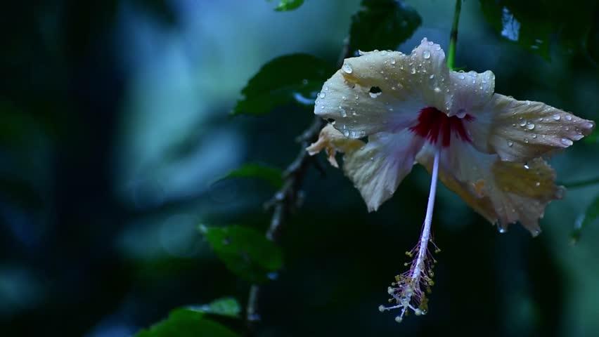 Hibiscus flower in rain