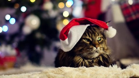 A Big Cat With Christmas Hat Sitting Among The Boxes Gifts