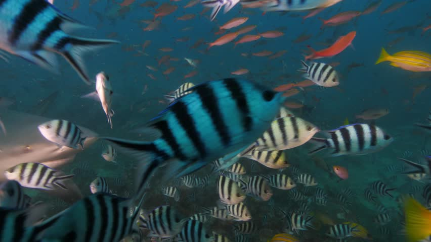 Deep ocean, wildlife scenery, Shark feeding underwater, a lot of sharks swimming around, closeup shot, predator passing by, blue sea water on background, extreme scuba diving at Fiji