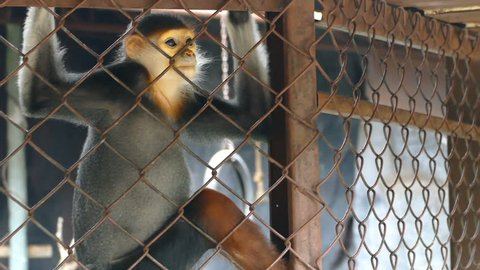 Sad Red-shanked douc langur sit and looking out through the cage.