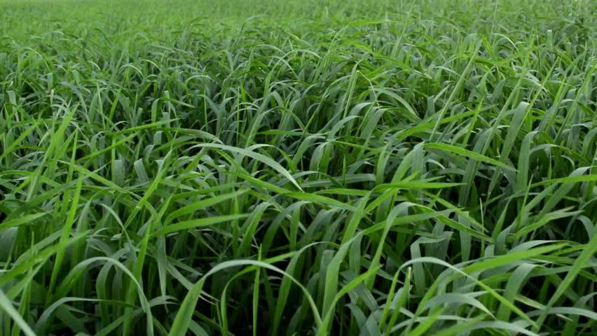 Fresh green spring grass | Shutterstock HD Video #1017165277