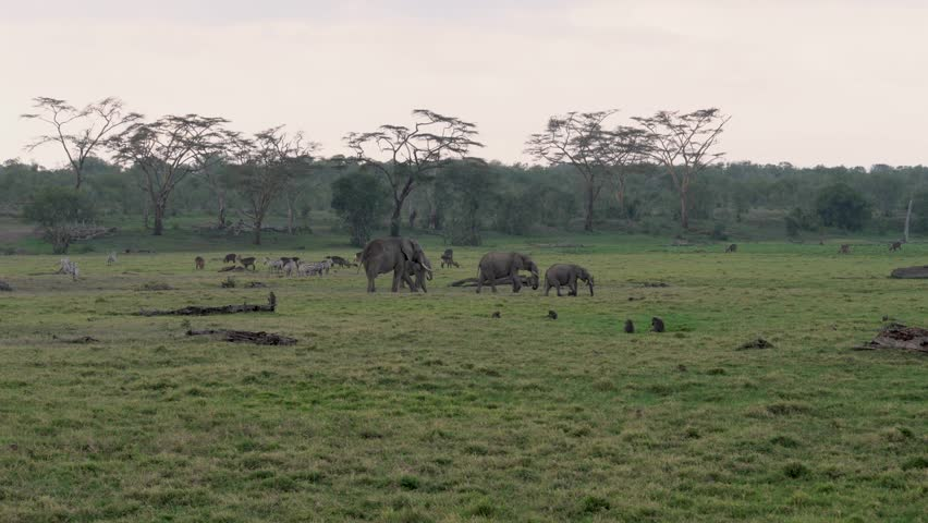 Beautiful views of the African plain with tall acacia trees and a green meadow with snags during the rainy season, where herds of elephants, zebras, antelopes and monkeys graze
