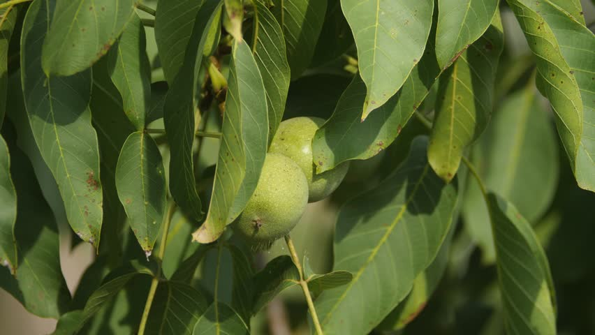 Ripening walnuts on a tree behind leaves | Shutterstock HD Video #1017350947