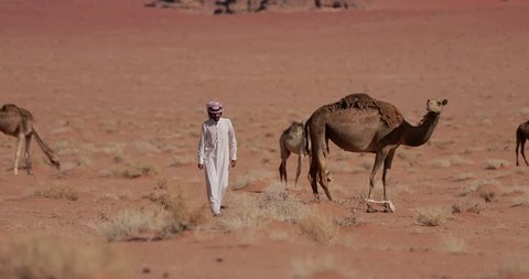 An Arab Bedouin Man near Camels In The Wadi Rum, Jordan