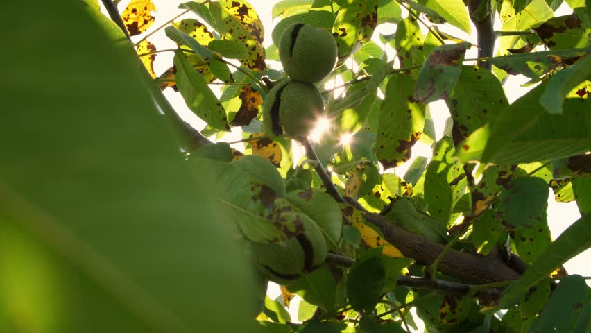 close up. Green european ripe walnuts growing on the tree among leaves, in the light of the sun. walnut trees with ripening walnuts on a large rural plantation