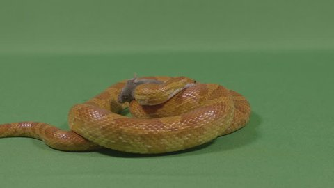 Snake Green Screen Stock Video Footage - 4K and HD Video Clips |  Shutterstock