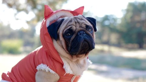 Cute pug in the costume of devil. Portrait of the dog outdoors.