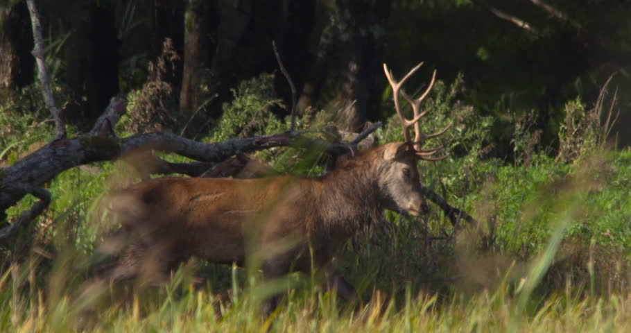 Wild Red Deer Stag Battle Stock Footage Video (100% Royalty-free)  1017913897 | Shutterstock
