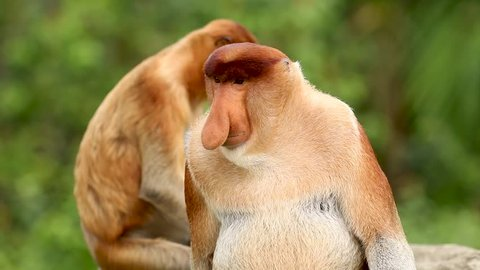 A shocked looking Proboscis Monkey in the mangrove forests of Borneo