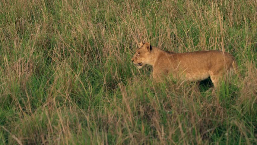 Medium and wide-angle shot of lioness and cubs in Uganda, Africa | Shutterstock HD Video #1018164487