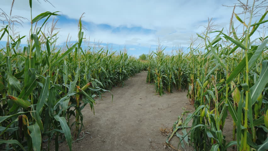 Walking through the corn tunnel in the corn maze, first-person view | Shutterstock HD Video #1018182007
