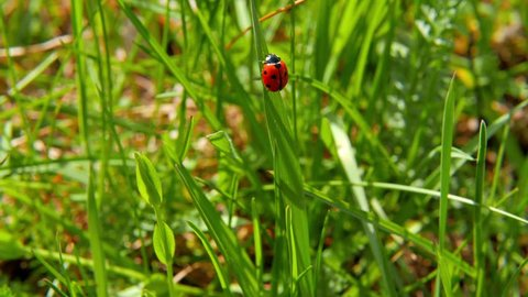 ladybird takes off from grass