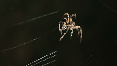 Big spider making a web at night. Large spider on a web. Spider on the web