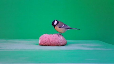 Small Bird Great Tit (Parus major) eats bread with GreenScreen Background or Chroma key in a sunny winter day. Documentary about Nature, Birds and Wildlife High Definition Video.