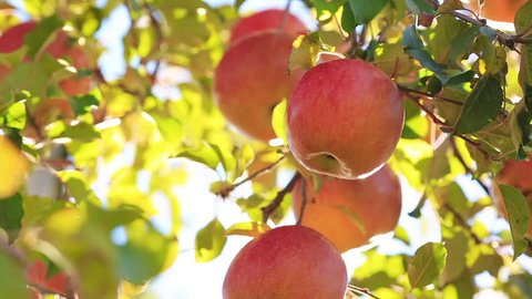 The sun shines through the apples tree.