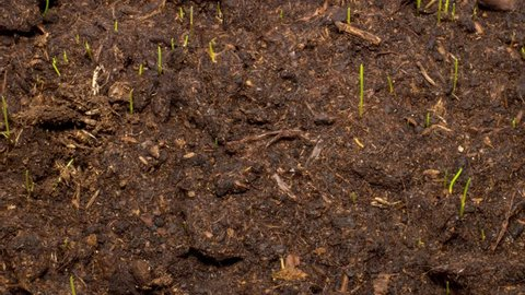 Grass grows from soil. Timelapse.