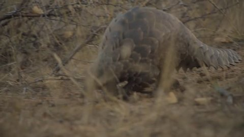 Ground pangolin walking past camera