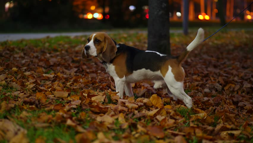 Dog at park, stay and turn head, looking around. Autumn time, fallen leaves lie on grass. Blurred background, moving car lights on street. Handheld shot