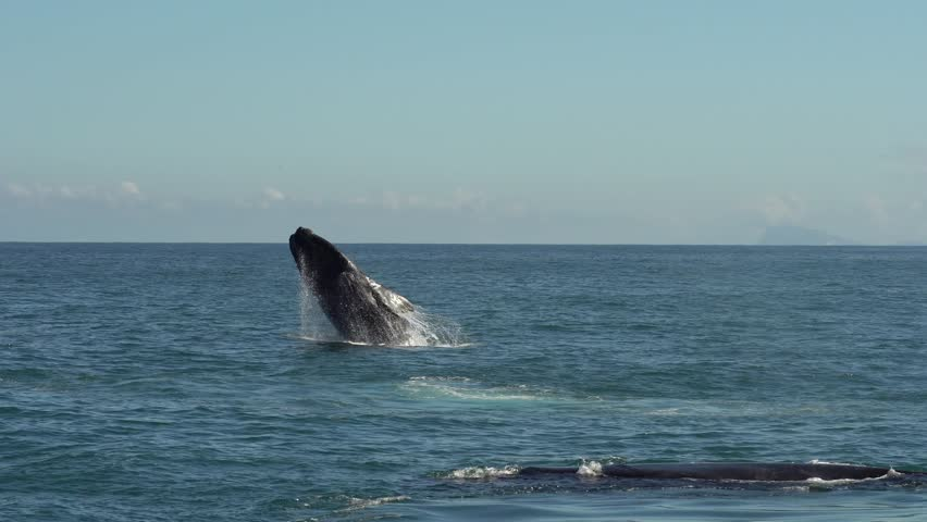 Southern Right Whale Breaching #1019144167