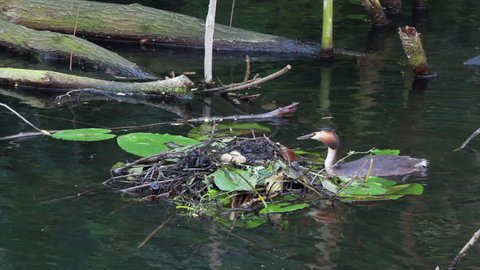 great crested grebe entering the nest
