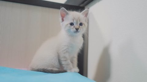 little cute cute white kitten sitting on the bed in the bedroom. little kitty pet with blue sad eyes. kitten small lifestyle cat concept pet