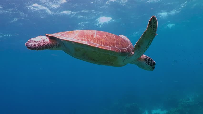 Sea turtle swimming in the tropical sea. Snorkeling with wild turtle. Underwater animal and coral reef. #1019331427