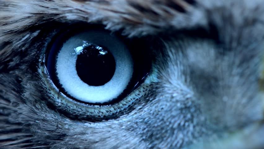 Eagle Eye Close Up Macro Eye Of Young Goshawk Accipiter Gentilis Toned