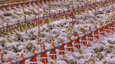 Growing Broiler Chickens / Chickens for fattening on a modern poultry farm