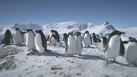 Colony Of Antarctica Penguins Close-up. Polar Snow Landscape. Group Of Adelie Penguins Standing On Snow Covered Land. Behavior Of Wild Birds. Mighty Mountains Background. Wildlife. 4k Footage.