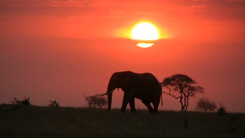 A single elephant moves across the camera with sunrise in the background.