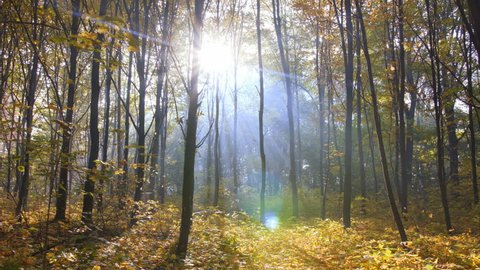 Misty autumn forest with a sun rays falling on a colorful carpet of leaves
