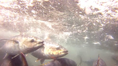 Swarm of bluefin tuna is cached in a tonnara (fish trap) near Sardinia