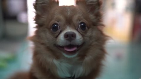 Chihuahua looking at owner show the cute face when it feels doubt for sound of owner talking in home