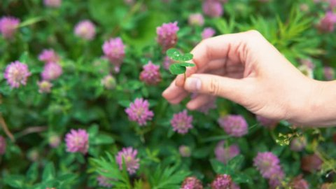 A female hand turns a four-leafed clover, a symbol of luck, over pink flowers, close-up.