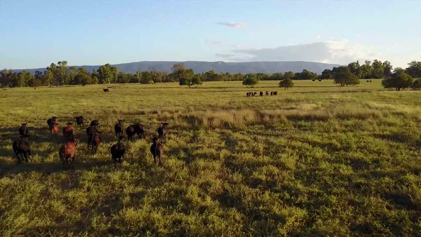 Aerial view of cattle running on open grass land, Queensland, Australia | Shutterstock HD Video #1019764897